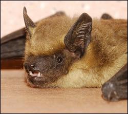 bat removal New Braunfels