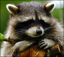 raccoon removal New Braunfels